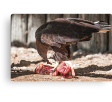 bird of prey that eat meat Canvas Print