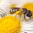 Sweat Bee Collecting Pollen by Dan Dexter