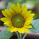 Sunflower #2 - All Grown Up by Barry Doherty