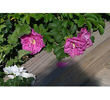 Roses along the Way Photographic Print