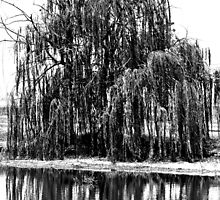 Black and White Weeping Willow by Christina  Ochsner