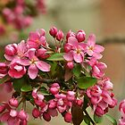 Crab Apple Blossoms (3) by goddarb