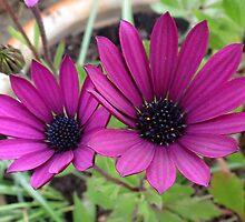 Daisy, Daisy - Pink Velvet by BlueMoonRose
