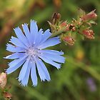 Chicory Flower by Linda  Makiej Photography