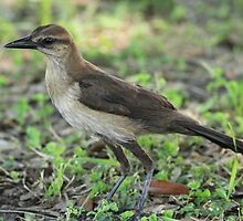 Juvenile Boat-tailed Grackle by Carol Bailey White