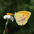 SLEEPY ORANGE SULPHUR by TomBaumker