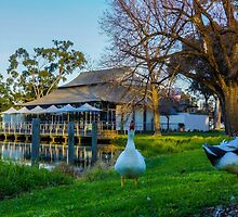 Getting Down and Ducky at the Boardwalk, Lake Weeroona by Steven Jodoin