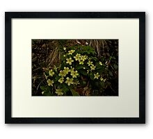 Primrose, Drumlamph Wood, County Derry Framed Print