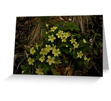 Primrose, Drumlamph Wood, County Derry Greeting Card