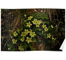Primrose, Drumlamph Wood, County Derry Poster