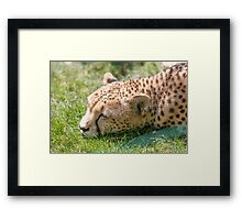 leopard at the zoo Framed Print
