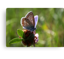 Little Blue Butterfly Canvas Print