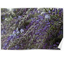 wisteria blooming Poster