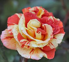 Splattered Rose by Keala