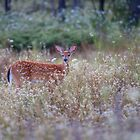 Fawn in Queen Anne's Lace by Jim Cumming