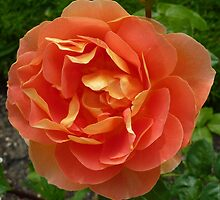 Peachy coloured rose by g369