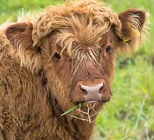 Highland Calf by M.S. Photography & Art