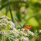 Viceroy Butterfly by Jamie Cameron
