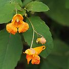 Orange Spotted Jewelweed by Linda  Makiej