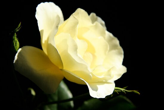Soft Lemon rose by Maggie Hegarty