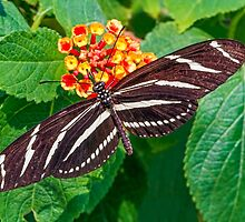 Zebra Longwing Butterfly by Kenneth Keifer
