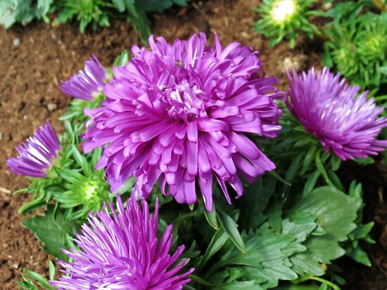 Vibrant Purple Asters by BlueMoonRose