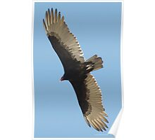 SOAR!  Beauty! Predatory birds along coastal shores of CA; Just S.Morro Bay USA Poster