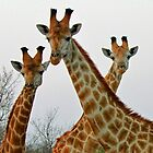 A Trio Of Giraffes! by jozi1