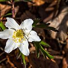 Anemone nemorosa by Evelyn Laeschke