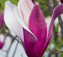 flowering magnolia by spetenfia