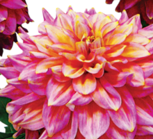 Pink Dahlias Kidds Climax Sticker