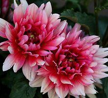 Pink Dahlias by Gilda Axelrod