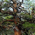 Juniper in the Sierras by Corri Gryting Gutzman