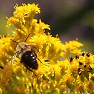 Bee on Goldenrod by Linda  Makiej Photography