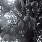 A lovely bunch of Coconuts by njordphoto