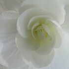 Begonia in White by Marilyn Harris