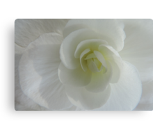 Begonia in White Canvas Print