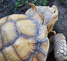 Tortoise  by Christina  Ochsner