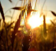 Sunset Grain by gavinimes