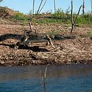 crocodile ready to pounce by Julia Harwood