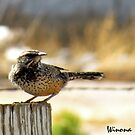 Cactus Wren by Winona Sharp