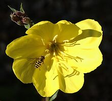 Aiming for the centre - Hover fly on Evening Primrose by Rivendell7