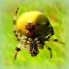 Araneus quadratus by ©The Creative  Minds