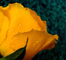YELLOW ROSES - 6    ^ by ctheworld