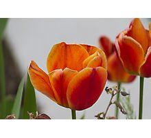 tulip in spring Photographic Print