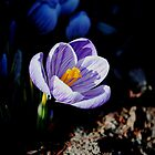 Out of the Shadows - Crocus by goddarb