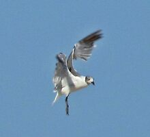 "Single Gull in the Air by Scott ""Bubba"" Brookshire"