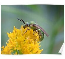 Halictid Bee Poster