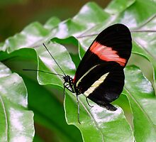 Black and White Butterfly with Red Stripe by artbybutterfly