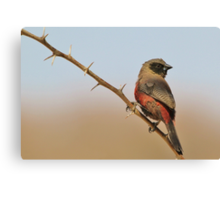 Blackcheeked Waxbill - Finding Thorny Solitude Canvas Print